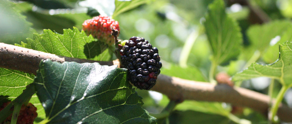 mulberry-4